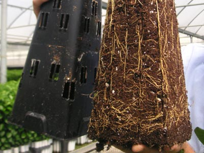 Resultado de las raíces tras la técnica air prunning