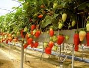 Fresas en invernadero