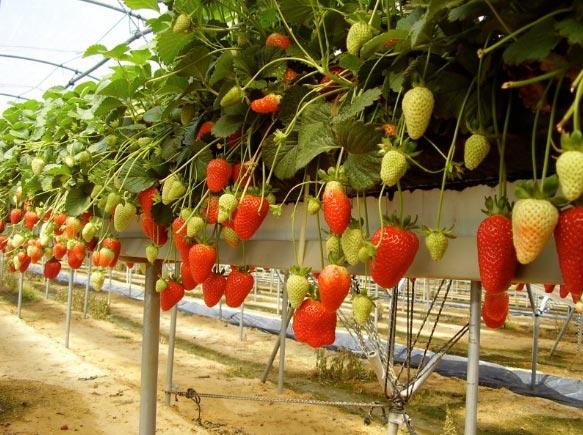 fresas de invernadero
